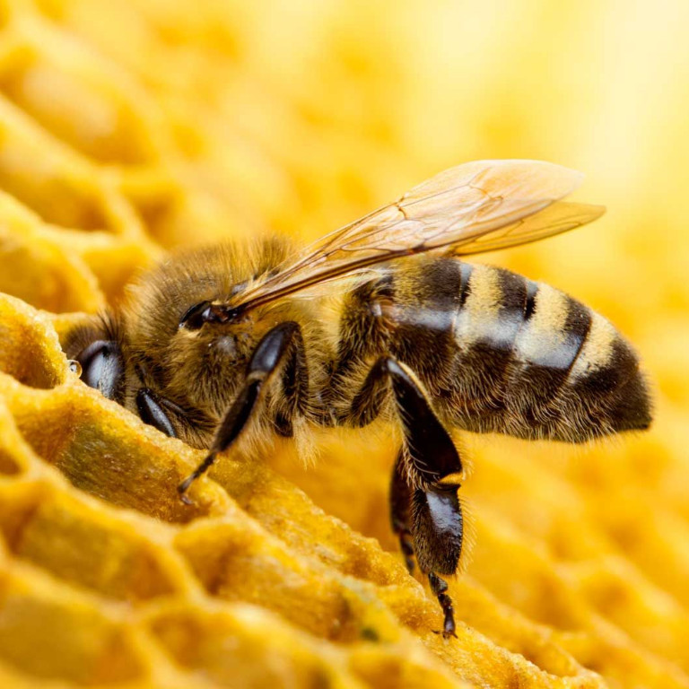 Bees: Vital to Ecosystems